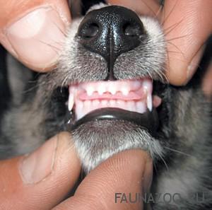 Правильно ухаживаем за зубами собаки