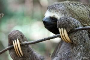 Ленивый ленивец