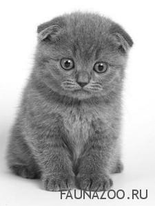 шотландских котах