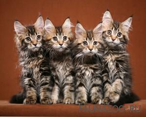 Мир запахов кошки Мейн Кун