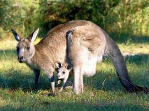 Размножение кенгуру