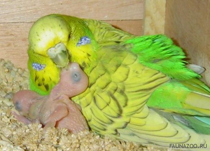Как ухаживать за беременным попугаем