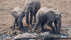 У слонов есть ритуал захоронения