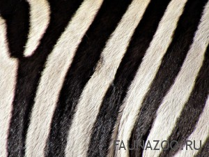 Зебра и полосы неразделимы, а для чего они ей