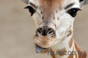 Малоизвестные факты про жирафов