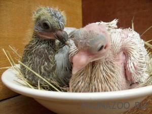 Почему мы видим взрослых голубей, но не видим голубят