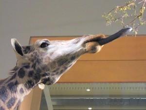 Почему у жирафа длинная шея и синий язык