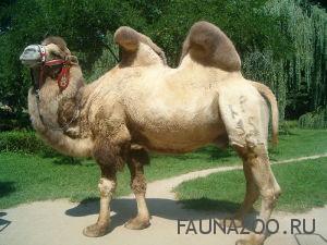 Двугорбый верблюд (Бактриан) факты и мифы