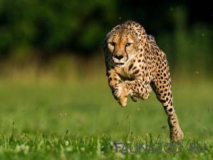 Интересные факты о гепардах