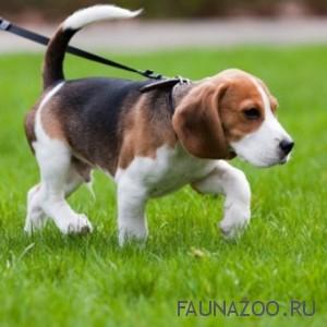 Приучение щенка к выгулу