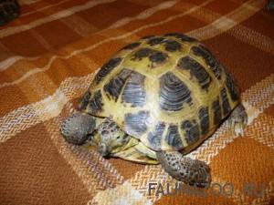Домашняя сухопутная черепаха