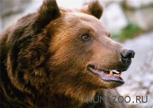 Удивительные факты из жизни медведей