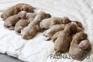 Роды у собак. Нужен ли ветеринар?