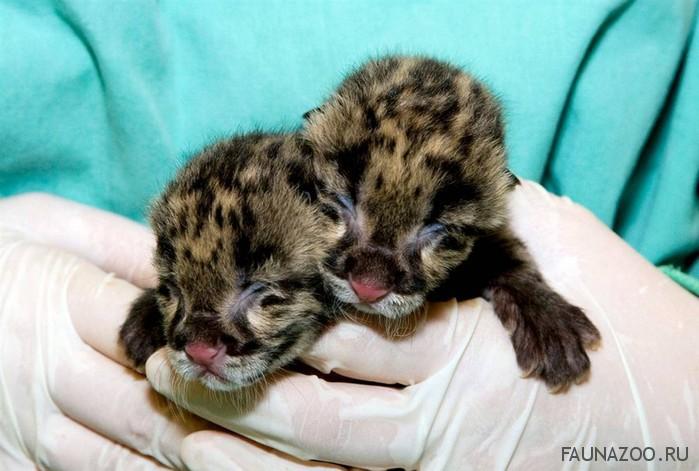 Дымчатые леопарды1