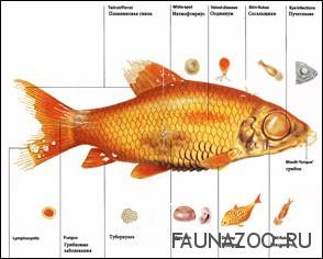 Болезни рыб и профилактика.