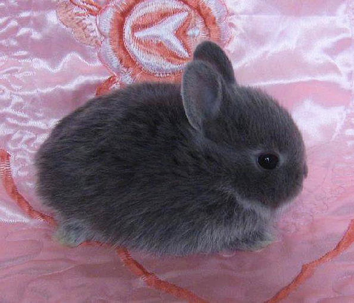 Порода кроликов голландский кролик