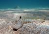 Черноморский морской дракон