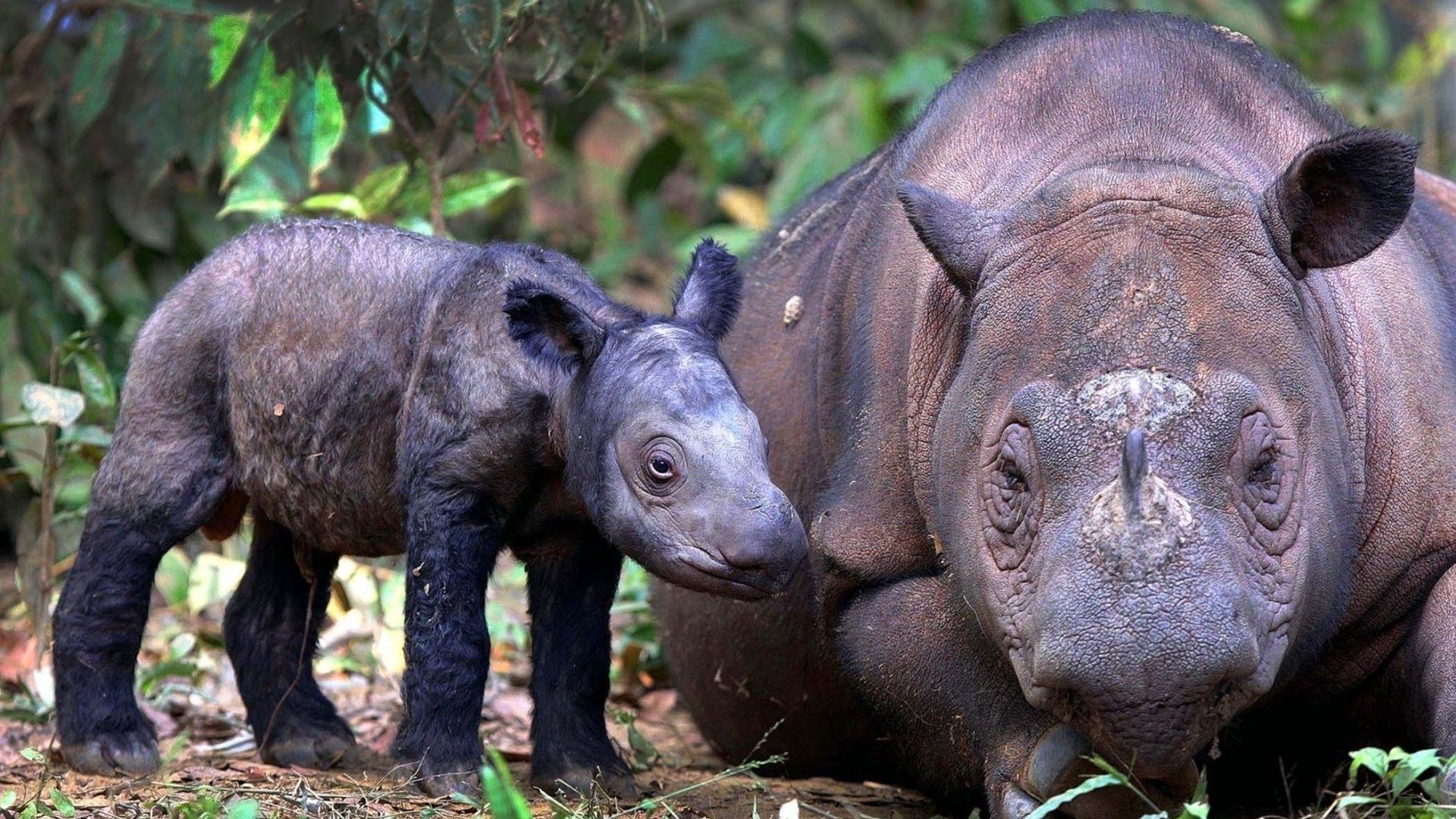 """Результат пошуку зображень за запитом """"Суматранский носорог"""""""