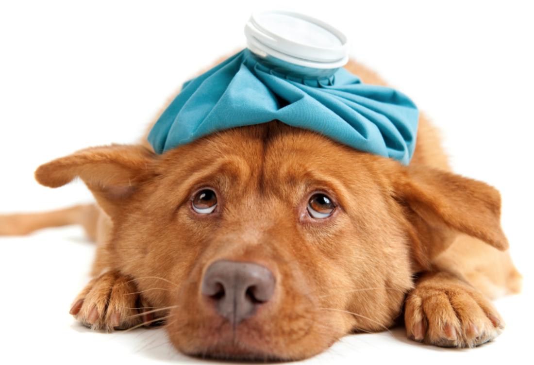 Асцит у собак лечение в домашних условиях