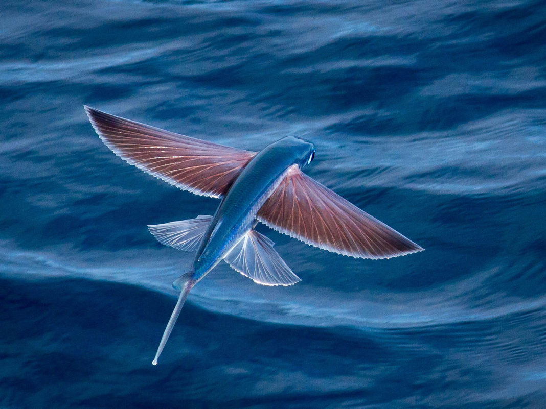 Flying fish video youtube