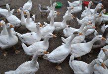 Выгода содержания гусей в хозяйстве