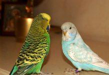 Заводим волнистого попугайчика
