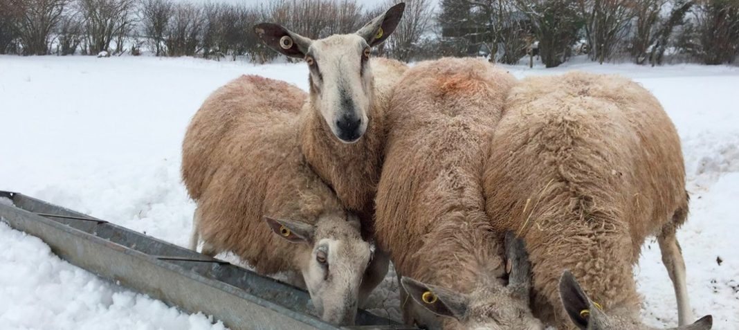 Кормление овец зимой