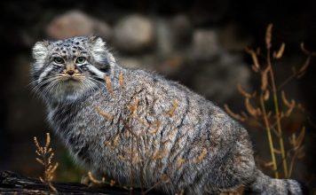 Манул – камышовый кот с бакенбардами