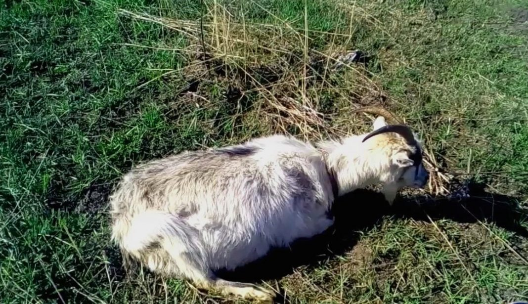 Тимпания у коз: причины, симптомы и эффективное лечение