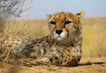 Азиатский гепард. На грани исчезновения