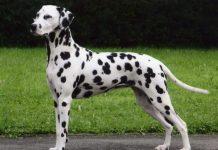 Порода собак Далматинец