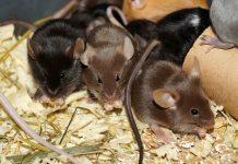 Декоративные мыши: содержание, уход