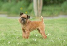 Порода собак Брюссельский Гриффон