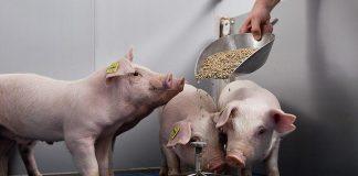 Как правильно кормить свиней?