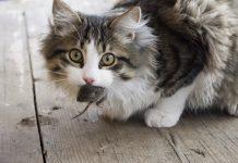 Почему кошки едят мышей