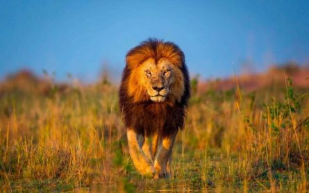 1). Лев.