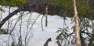 Охота на рябчика весной