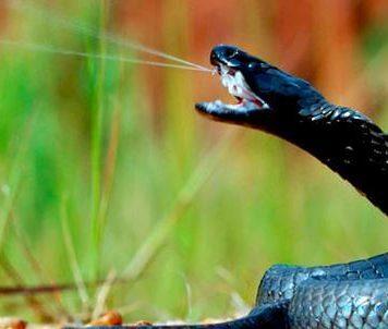 Черношеяя плюющаяся кобра